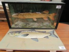 Taxidermy - A Jack Pike, with painted reeds and a rocky base, in a glass case with a fish painted