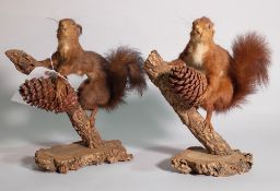 Taxidermy; a pair of red squirrels, each on naturalistic branch bases, 24cm wide x 31cm high, (2).