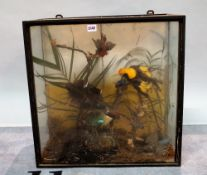 'Taxidermy' various exotic birds, cased, (a.f.), 57cm wide x 57cm high.