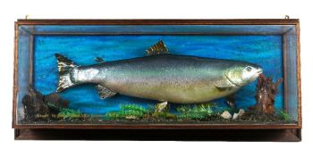 'Taxidermy', a mid-20th century wall mounted cased trout, 94cm wide x 42cm high.