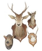 Taxidermy; a stag's head mounted on an oak shield shaped plaque, 64cm protrusion,