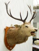Taxidermy; a red deer stag's head mounted on an oak shield, detailed 'H.B.S 1933', 101cm high.