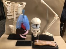 A GROUP OF PLASTIC ANATOMY PARTS OF A HUMAN BODY, INCLUDING SKULL WITH BRAIN, RIB CAGE AND SPINE,