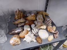A COLLECTION OF GOOD SEA SHELLS OF VARIOUS SIZES