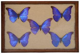 An early 20th century display of South American butterfly specimens