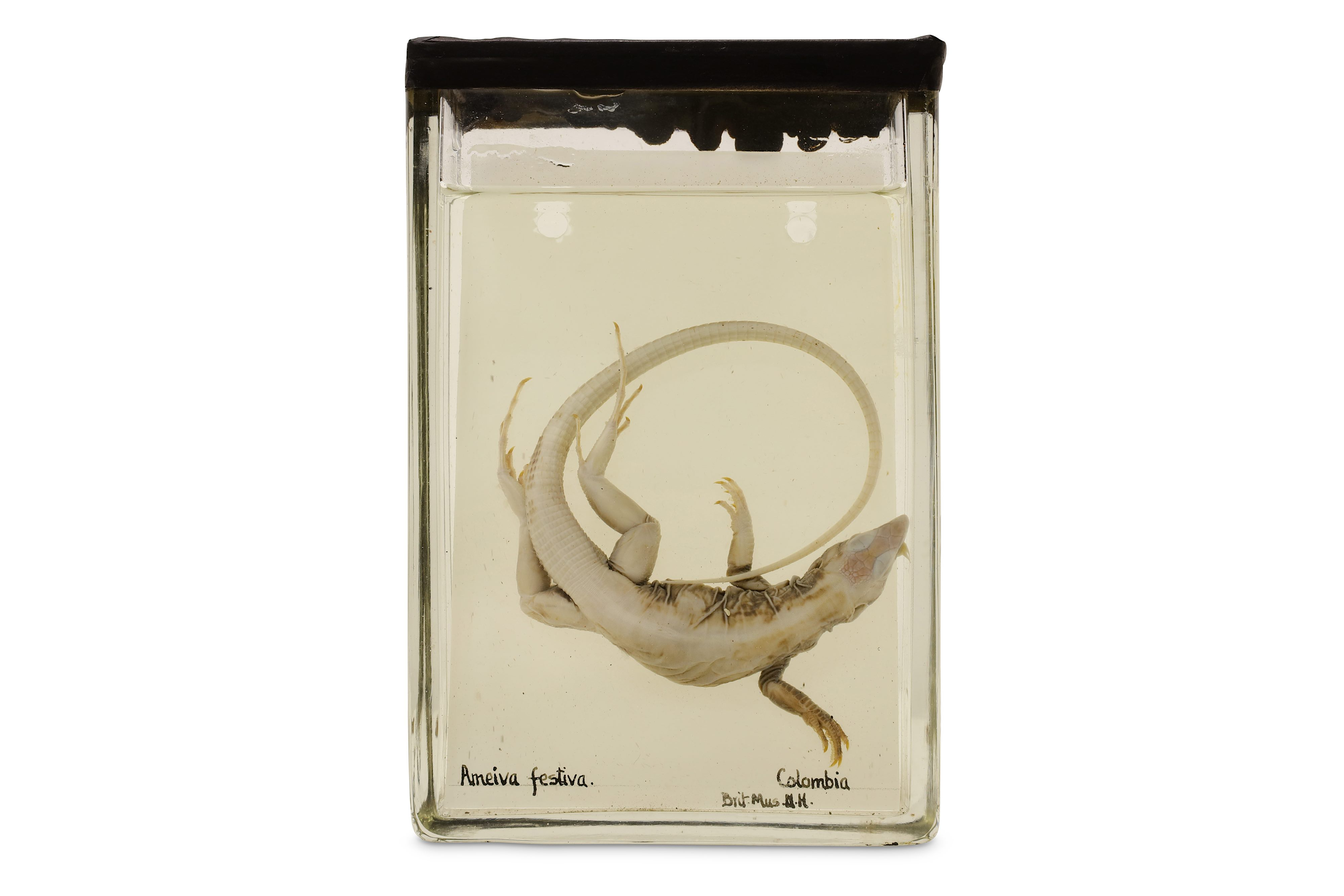 TAXIDERMY: A COLLECTION OF NINE LATE 19TH / EARLY 20TH CENTURY EX-MUSEUM WET / PICKLED SPECIMENS IN - Image 4 of 9