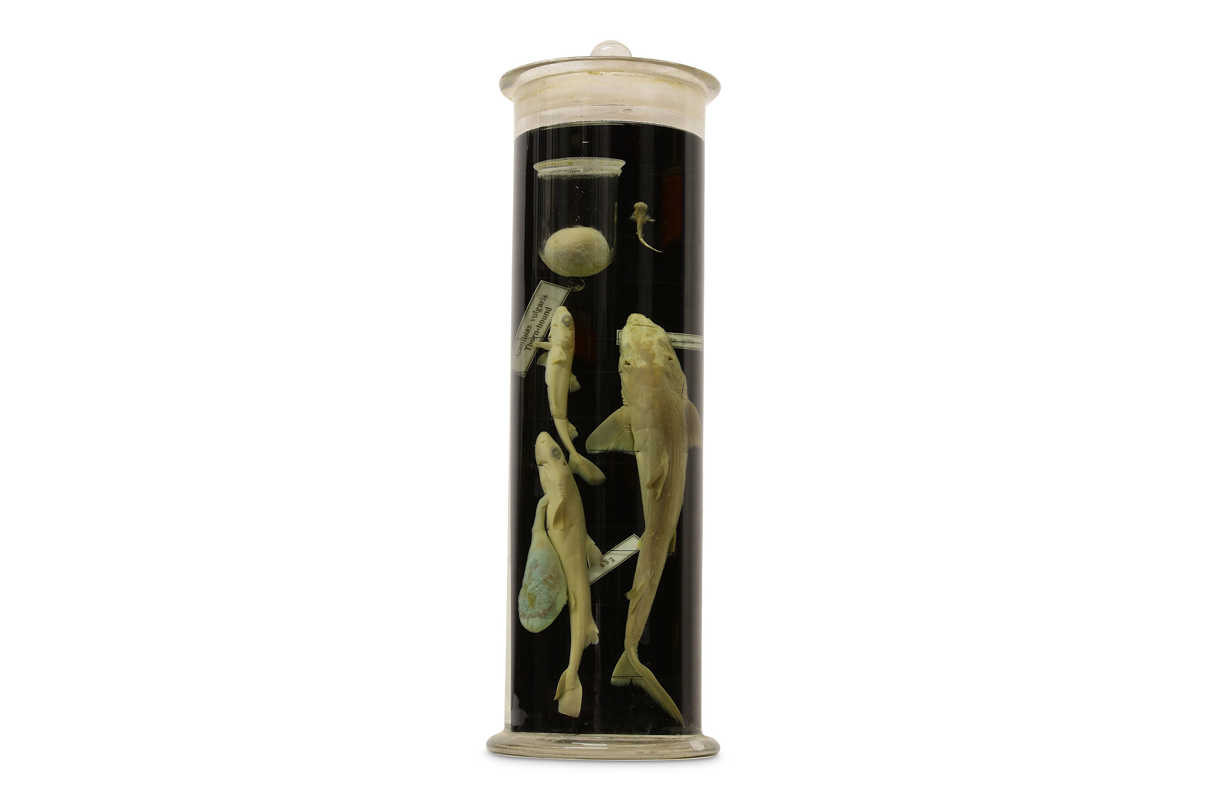 Lot 26 - TAXIDERMY: FIVE EX-MUSEUM WET / PICKLED SPECIMENS IN GLASS JARS, MOSTLY 1930'S