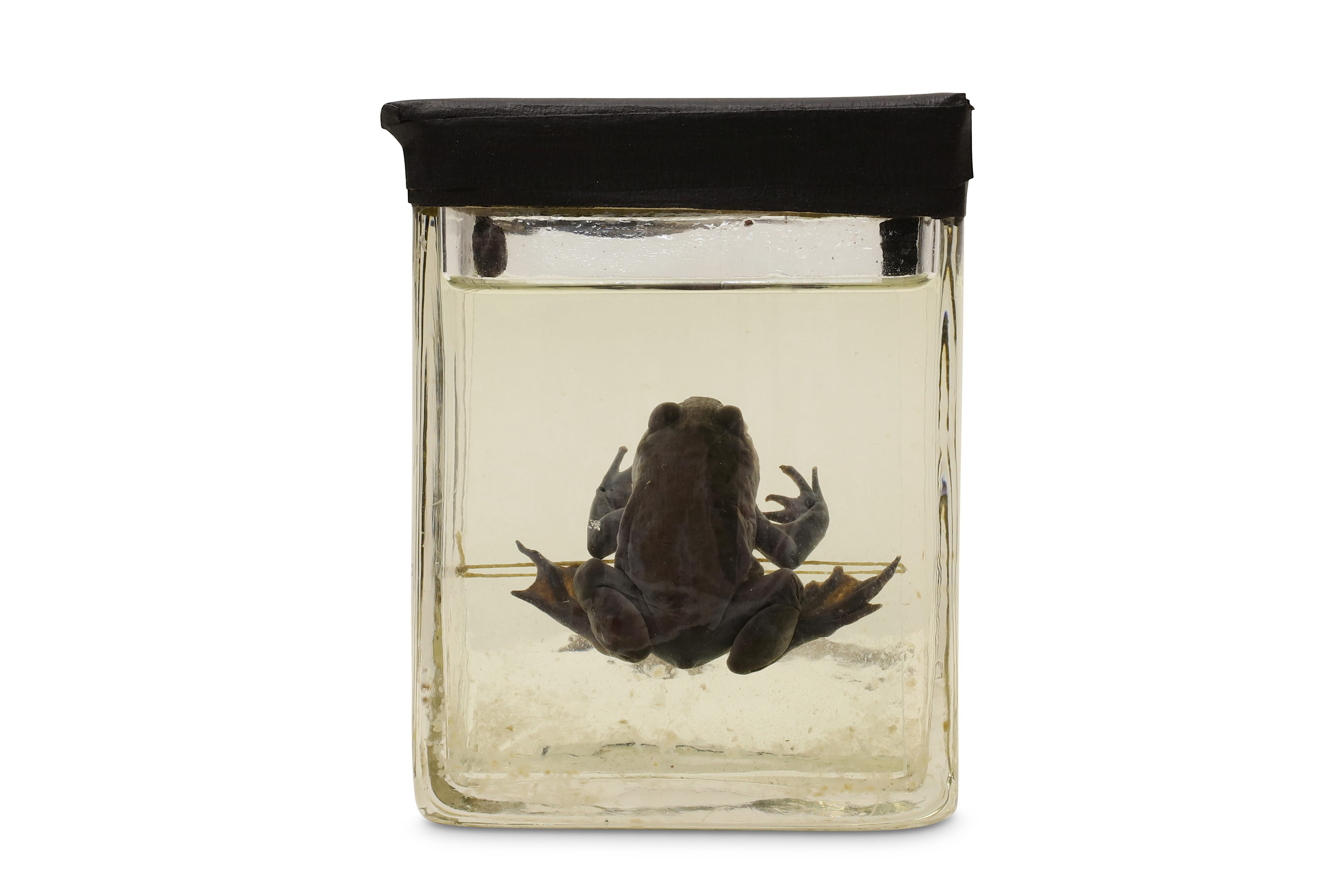 TAXIDERMY: A COLLECTION OF NINE LATE 19TH / EARLY 20TH CENTURY EX-MUSEUM WET / PICKLED SPECIMENS IN - Image 7 of 9