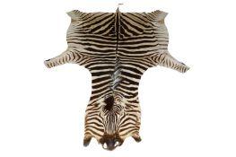 A large zebra (Equus quagga) flat skin rug