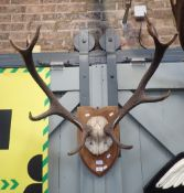 TWO STAG ANTLERS MOUNTED ON OAK SHIELDS