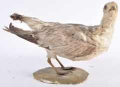 EARLY 20TH CENTURY TAXIDERMY EXAMPLE OF A WATER BIRD