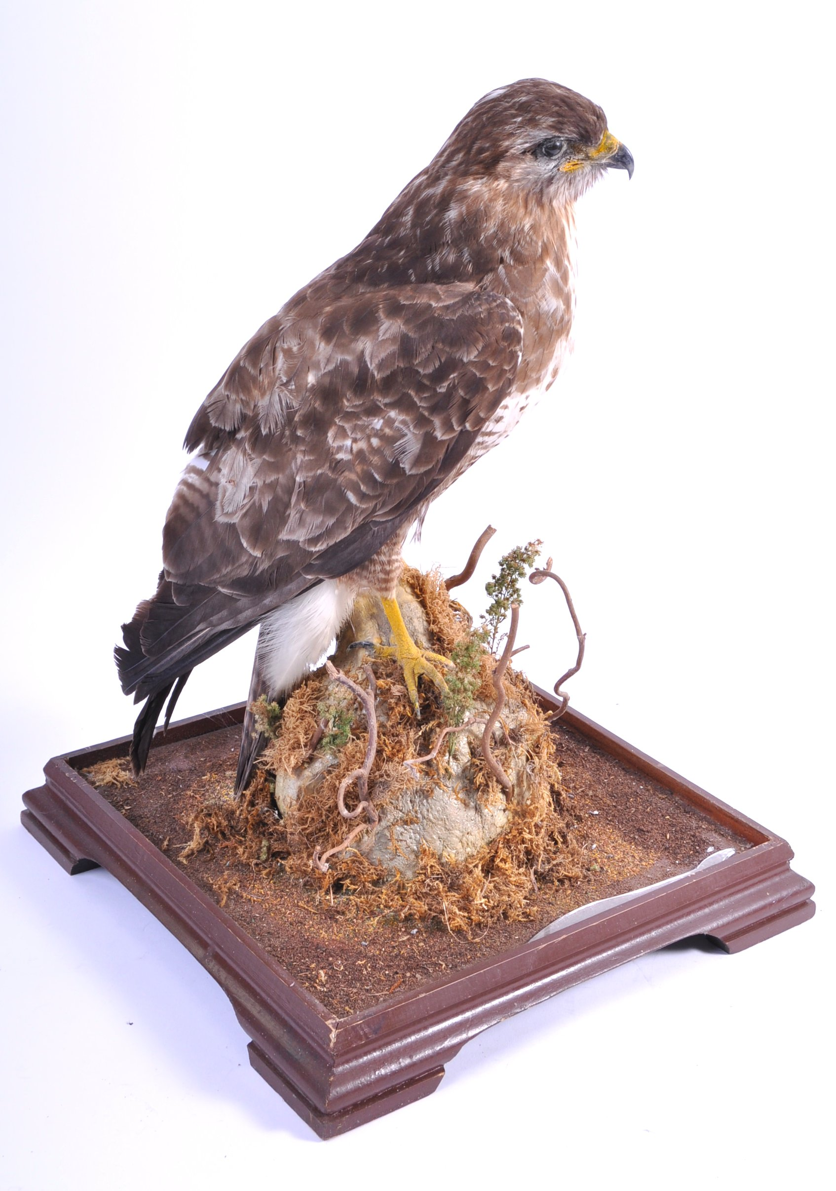 Lot 30 - VICTORIAN CASED TAXIDERMY EXAMPLE OF A PEREGRINE FALCON
