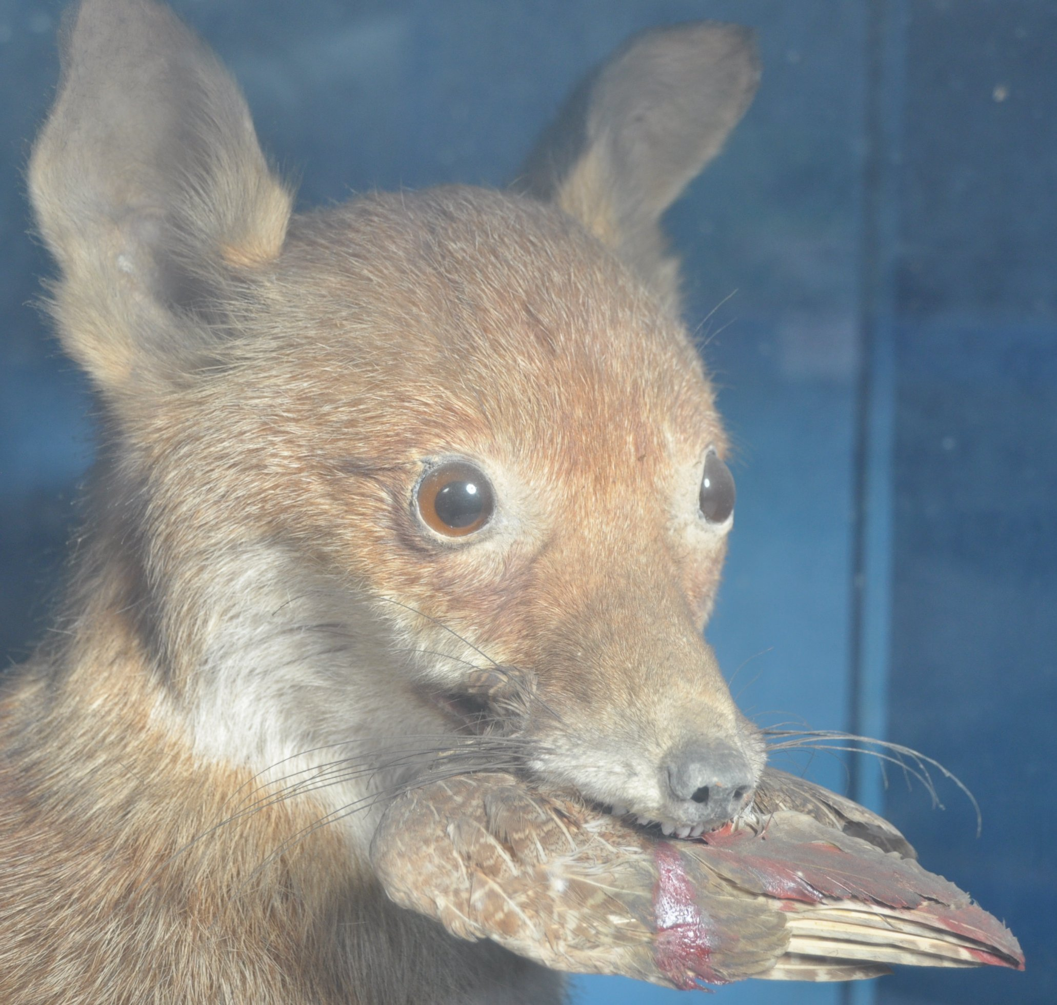 VICTORIAN CASED TAXIDERMY EXAMPLE OF A FOX - Image 4 of 6