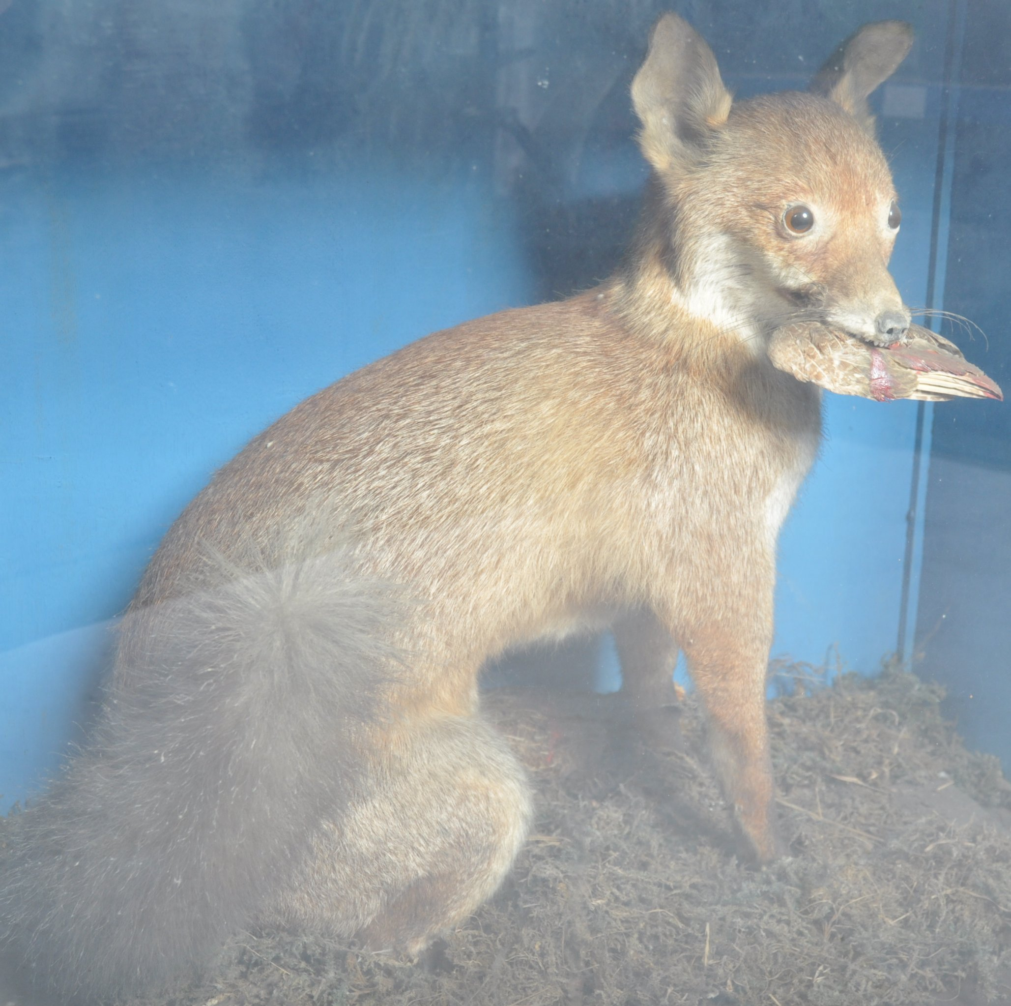 VICTORIAN CASED TAXIDERMY EXAMPLE OF A FOX - Image 3 of 6