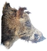 LARGE TAXIDERMY EXAMPLE OF A MALE BOARS HEAD