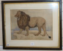 George Landseer, watercolour, Study of a lion, inscribed in pencil, 35 x 48cm