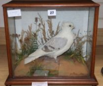 A taxidermic fancy pigeon case height 35cm