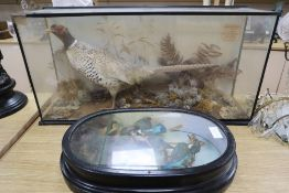 Victorian cased taxidermy: A Bohemian pheasant with presentation label and a taxidermy group of