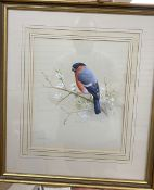 Ron David Digby (b.1936), gouache on paper, Bullfinch, signed, 24 x 20cm