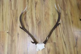 A pair of stag antlers, 72cm high