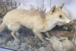 An early 20th century taxidermy fox catching a rabbit, cased, 110 x 65cm