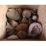 A BOX OF EXOTIC SHELLS. (qty)