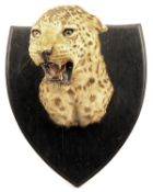 VAN INGEN & VAN INGEN A VINTAGE CAPE AND HEAD MOUNT OF A LEOPARD (panthera pardus fusca), mounted on