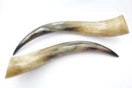 Pair of Highland Cow Horns 60cm in Length
