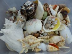 A COLLECTION OF SEA SHELLS. (QTY)
