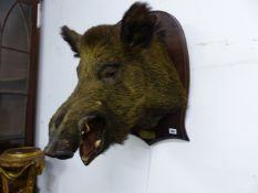 AN OAK SHIELD MOUNTED BOAR'S HEAD LABELLED 31 DECEMBRE 1901, FORET DE LOCHES, THE SHIELD. H 59cms.
