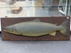 """AN IMPRESSIVE CARVED WOOD AND HAND PAINTED SALMON FISHING TROPHY INSCRIBED """"COCK FISH. 36Lbs- TOP"""