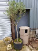 A PAIR OF OLIVE TREES.