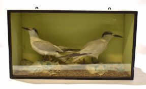 Taxidermy cased pair of gulls in naturalistic setting, by H N Pashley of Cley, 34 x 60cm