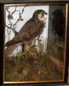 Taxidermy buzzard in a naturalistic case with glazed front and sides, (pre-1947), 46cm wide