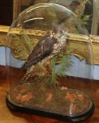 Taxidermy of a hobby on a stump with natural habitat on an ebonised socle and under an oval glass
