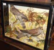 Pre-1947 ebonised and glazed cased taxidermy of a sparrowhawk and a kestrel in naturalistic setting,