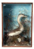 Taxidermy cased Dipper in naturalistic setting, 66 x 46cm