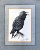"Charles Frederick Tunnicliffe RA, RE, (Born 1901), ""Starling Singing"", original scraperboard drawing"