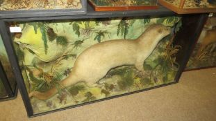 Taxidermy cased Otter, by H T Shopland of Torquay, 61 x 112cm
