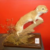 Taxidermy uncased Stoat on naturalistic base