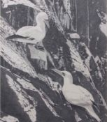 AR Fran Knowles (contemporary), pair of Gannet on a cliff, pencil drawing, signed lower left, 47 x