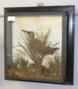 Taxidermy cased wall mounted Water Rail in naturalistic setting, overall size 40 x 38cm