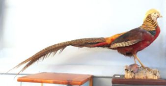 Taxidermy uncased Golden Pheasant on naturalistic base