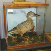 Taxidermy cased Shoveler Duck in naturalistic setting, 37 x 37cm