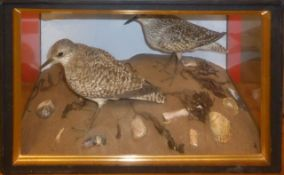 Taxidermy cased pair of Grey Plovers in naturalistic setting by Jeffery Campbell Black, 30 x 50cm