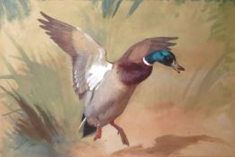 Archibald Thorburn (1860-1935), Mallard alighting, watercolour and gouache, signed and dated Jan