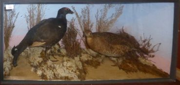 Taxidermy cased pair of Blackcock in naturalistic setting, 43 x 90cm
