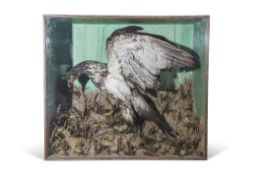 Taxidermy cased Bird of Prey with rabbit in naturalistic setting, 95 x 107cm (possibly American