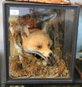 Taxidermy cased Fox head in naturalistic setting, 38 x 34cm