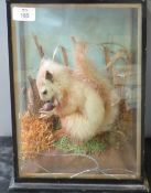 Taxidermy cased squirrel in naturalistic setting 33 x 26cm